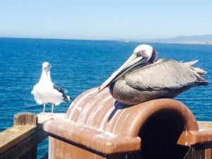 Seagull & Pelican
